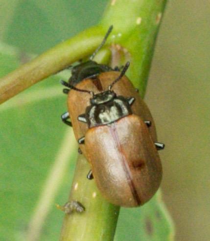 Beetle - Chrysomela crotchi