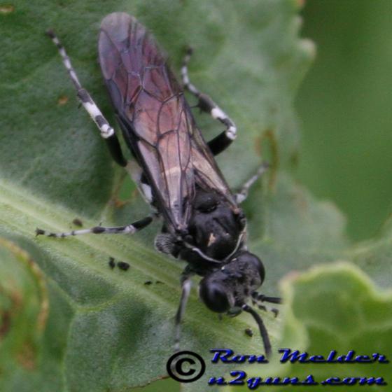 Sawfly - Macrophya