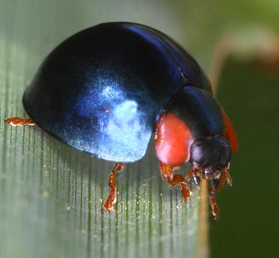 ladybug - Curinus coeruleus