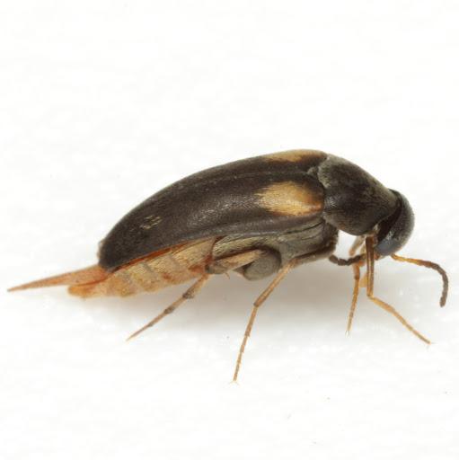 Mordellochroa scapularis (Say) - Mordellochroa scapularis