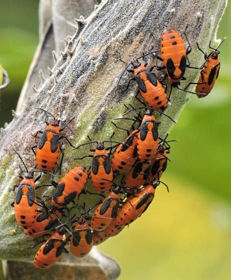 Bug Cluster - Oncopeltus fasciatus