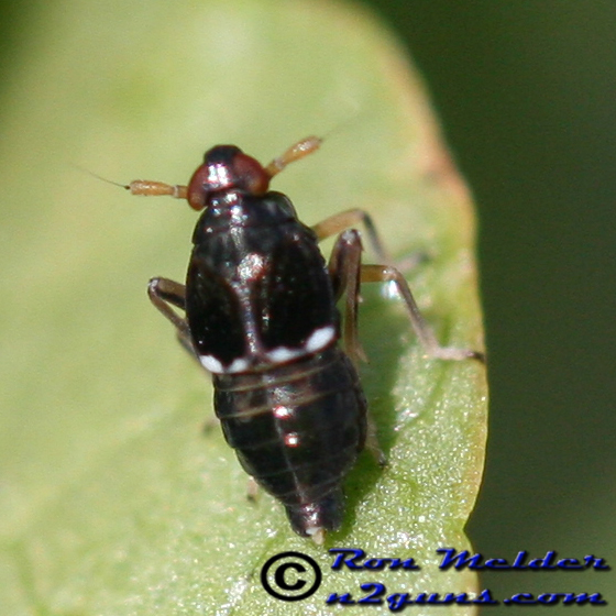 Planthopper - Pissonotus piceus - male