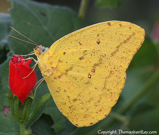 Phoebis - Phoebis agarithe - male