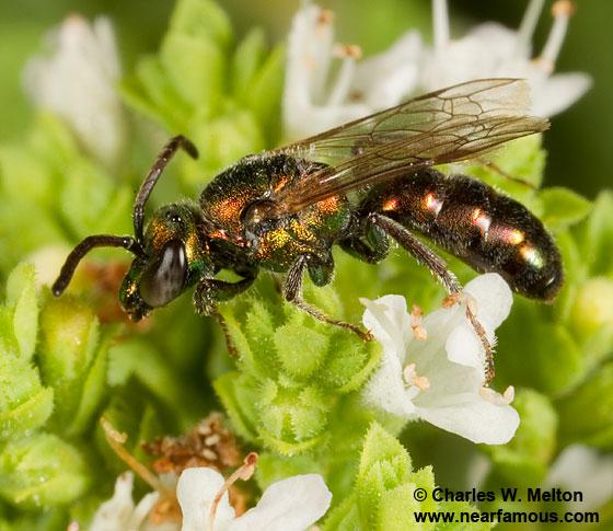 Bee - Augochlorella