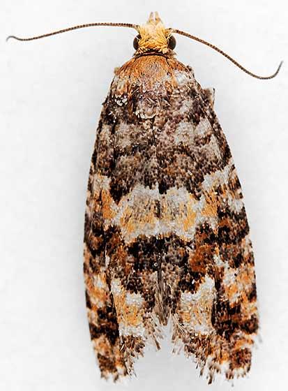 moth - Eucopina tocullionana - female