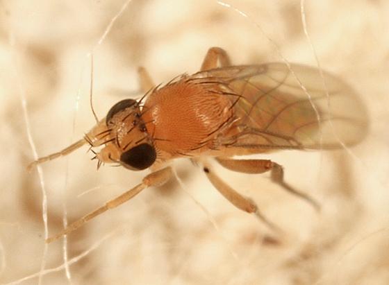 Scuttle fly - Megaselia - female