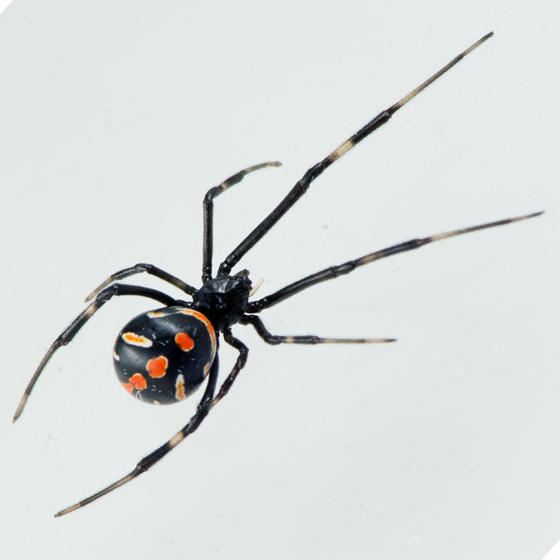 Southern Black Widow juvenile - Latrodectus mactans - female