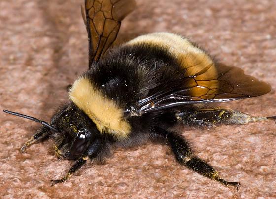 Bombus terricola queen? - Bombus terricola - female