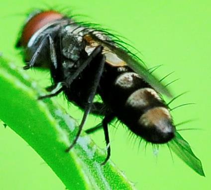 Satellite Flies Metopia argyrocephala - Metopia argyrocephala