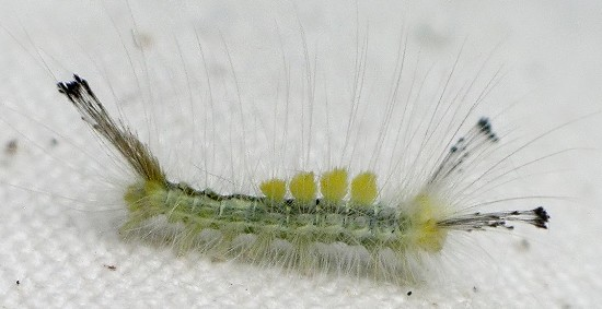 tussock caterpillar - Orgyia