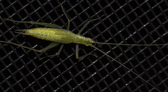 Tree Cricket? - Oecanthus