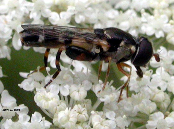 Small Flower Fly - Syritta pipiens