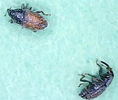 Plantain Weevil - Mecinus pascuorum