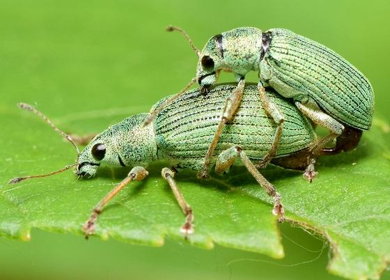 Polydrusus formosus pair - Polydrusus formosus - male - female
