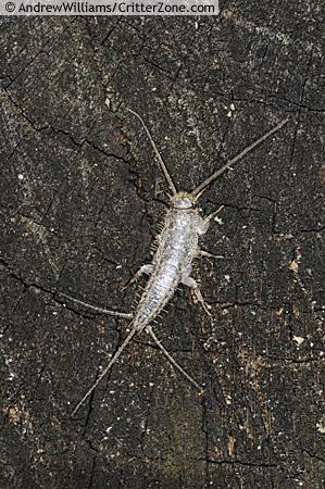 silverfish - Ctenolepisma
