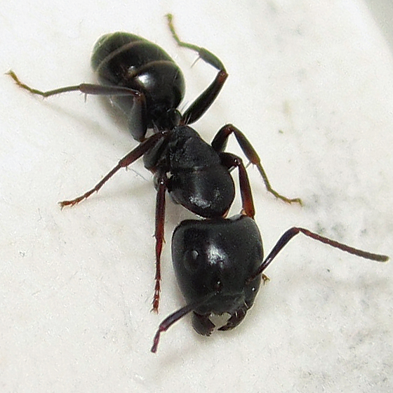 Camponotus nearcticus - major worker - Camponotus nearcticus