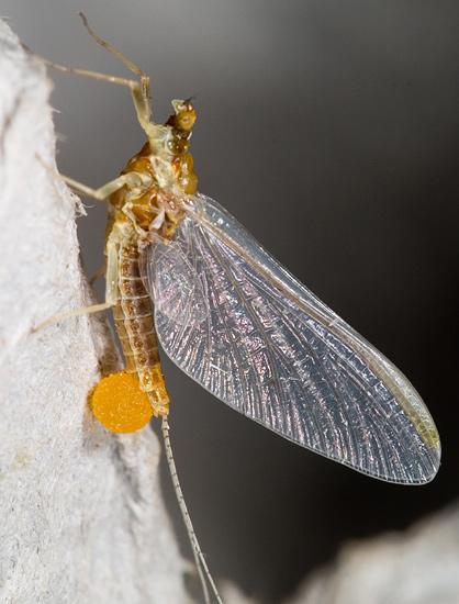 Small Mayfly - Ephemerella invaria - female