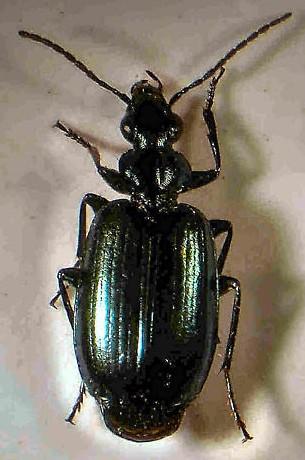 Small Green Carabid - Lebia moesta