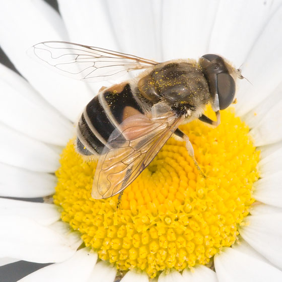 Please tell me it's a fly!  :) - Eristalis arbustorum - female