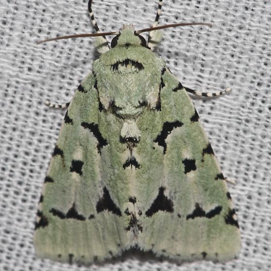 Agriopodes fallax - Green Marvel - Hodges#9281 - Acronicta fallax