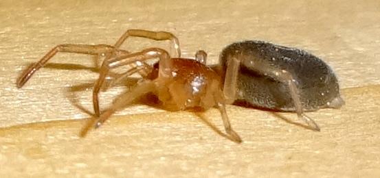 Ground Spider ? - Trachelas