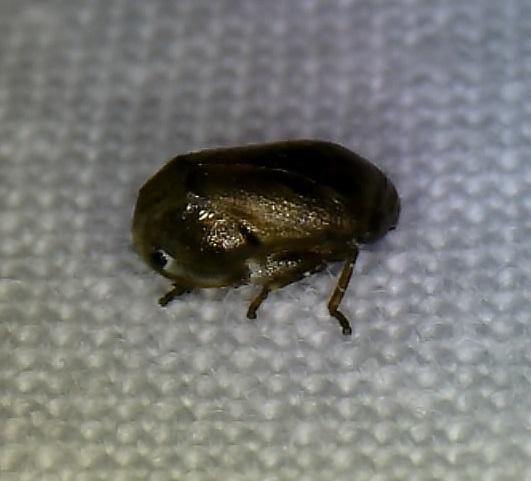 tiny spittlebug(?) with eyespots - Clastoptera xanthocephala