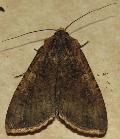 Variegated Cutworm - Hodges#10915 - Peridroma saucia