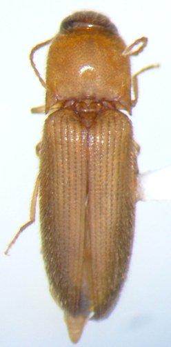 Glyphonyx 10 - Glyphonyx brevistylus