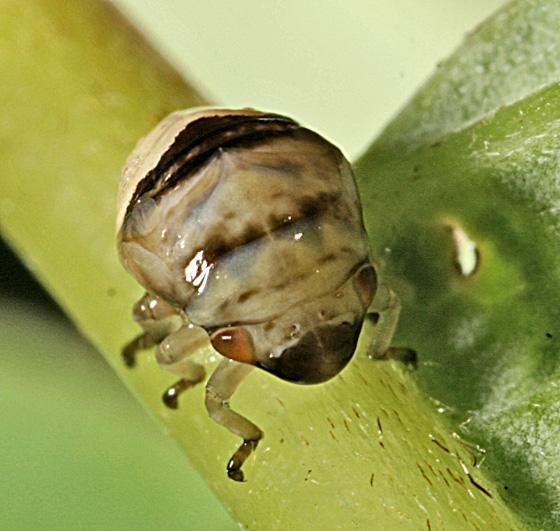 Clastoptera - Clastoptera proteus
