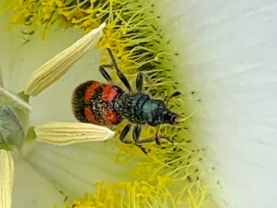 Bug on Calochortus gunnisonii - Trichodes nuttalli