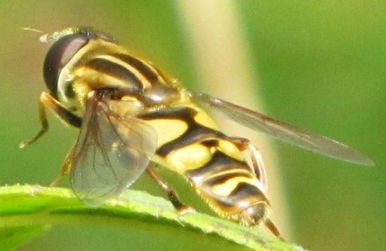 Fly - Helophilus fasciatus - male