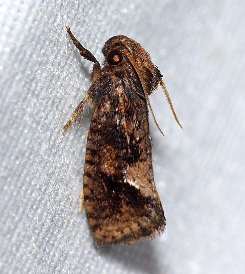 Acrolophus sp? - Acrolophus walsinghami