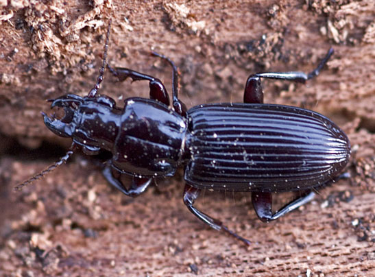 Ground Beetle - Morion monilicornis