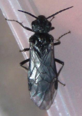 Dolerus sawfly - Dolerus nitens