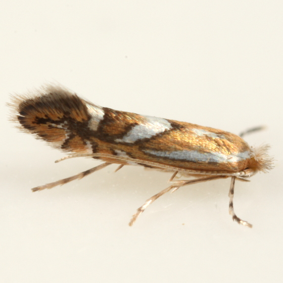 Phyllonorycter ex Prunus serotina - Phyllonorycter propinquinella