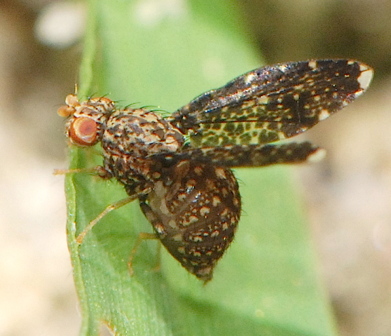 spotted fly - Trypetisoma sticticum - female
