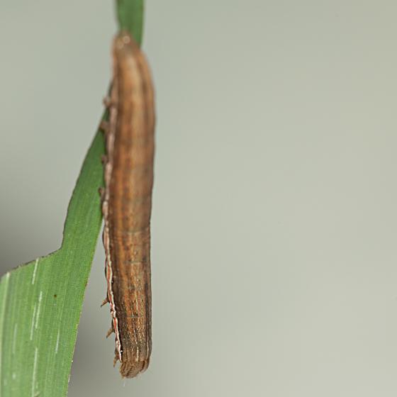 Day 17 -- Caterpillar E - Anicla infecta