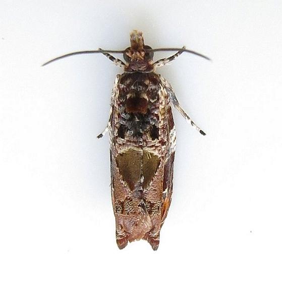 Hodges #2704 - Cacocharis cymotoma - Cacocharis cymotoma