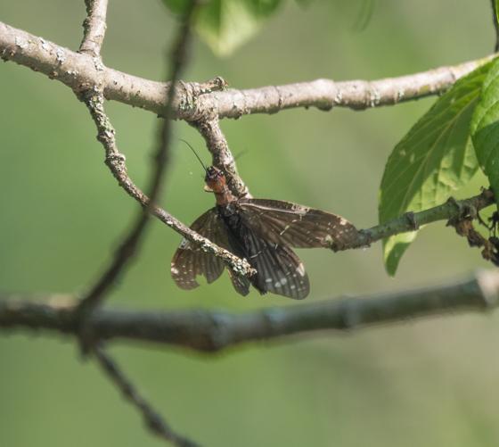 Dark Fishfly--Nigronia species? - Nigronia serricornis