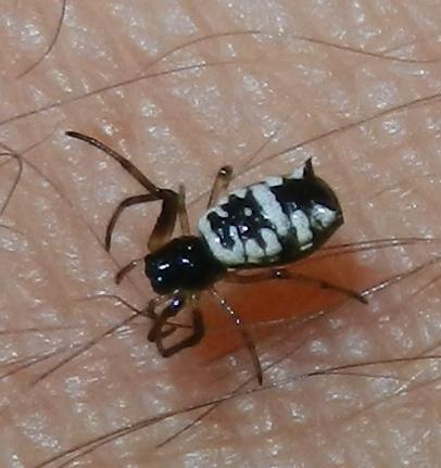 Micrathena mitrata - female