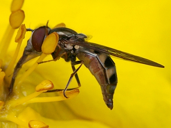 Syrphid Fly - Platycheirus - female