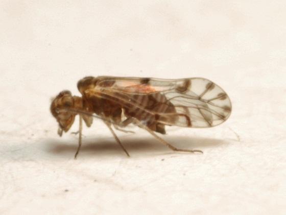 Lachesilla rena  Sommerman - Lachesilla rena - male