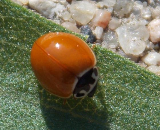 Polished Lady Beetle? - Cycloneda munda