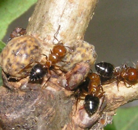 Moth from Scale Insects - Baphala pallida
