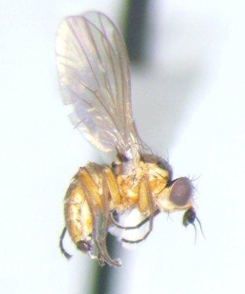Agromyzid - Cerodontha