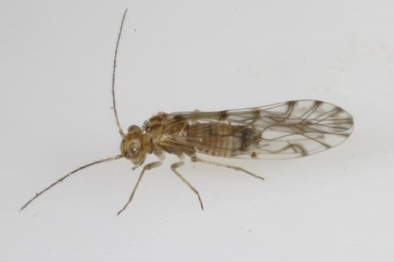 Lachesilla texana Mockford - Lachesilla texana - male