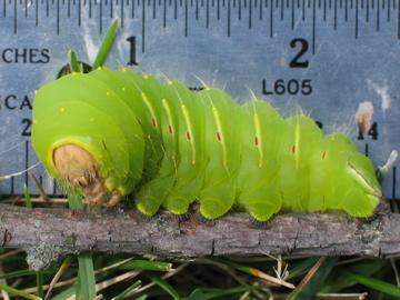 Huge caterpillar - Antheraea polyphemus