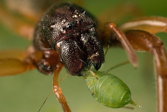 sac spider? - Trachelas