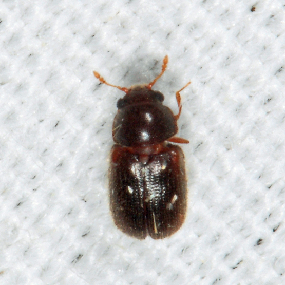 small beetle - Sphindus