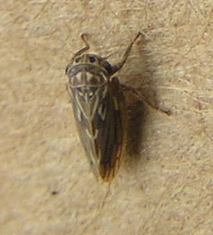 leafhopper - Ceratagallia sanguinolenta